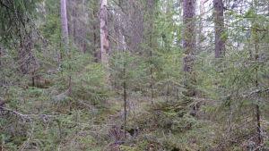 Kuva Luonnonperintösäätiön uudelta suojelualueelta Porin Noormarkun Lassilasta.