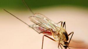 Lähikuva hyttysestä imemässä verta.