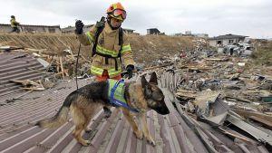 Pelastusmies ohjaa  koiraa raunioissa Sendaissa 15.3.