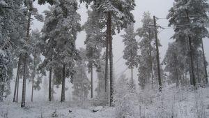 Luminen metsäkuva