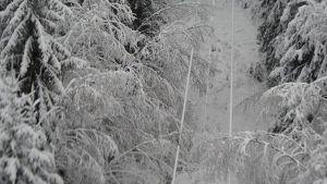 Puut painavat sähkölinjaa.