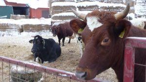 Lehmiä tallvisella piha-alueella.