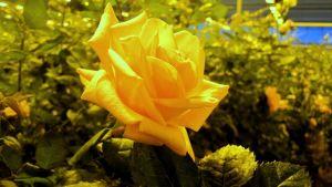 Ruusu Ali-Marttilan kasvihuoneella