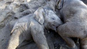 Kaksi elefantin poikasta leikkii mutalammikossa Thaimaassa.