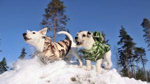 Homekoiria lumessa.