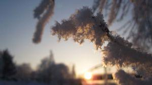 Lumisia puunoksia talviauringon valossa