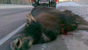Kolarissa kuollut hirvi.