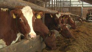 Lehmiä syömässä rehua navetassa.