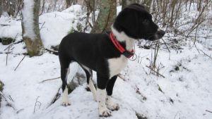Mustavalkoinen koiranpentu lumihangessa.