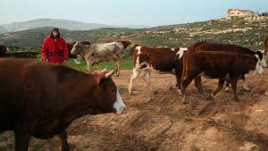 Siirtokuntalainen paimen lehmien kanssa länsirannalla Israelissa.