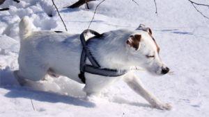 Jackrusselinterrieri juoksee lumihangessa.
