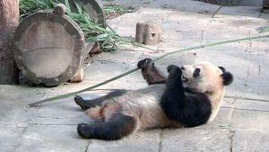 Panda syö bambua eläintarhassa.