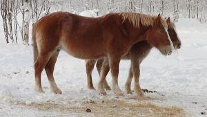Suomenhevosia