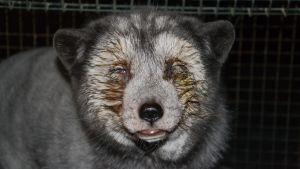 Eläimet kärsivät pahoista silmä- ja ientulehduksista.