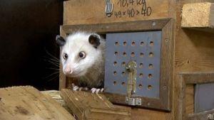 Kierosilmäinen opossumi Heidi.