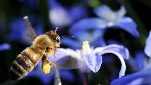 Mehiläinen lähestyy Chionodoxa-kukan terälehtiä.
