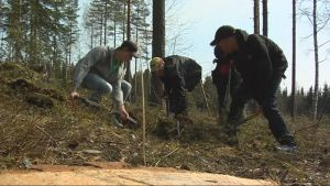 Opiskelijat kaivavat korvasienten puoliviljelmälle kuoppaa.