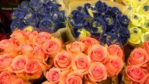 Puna- ja sinivärjättyjä ruusuja