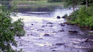 Hiitolanjoki on merkittävä Laatokan järvilohen lisääntymisjoki.