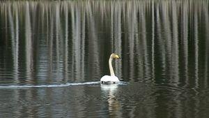 Laulujoutsen ui järvessä.