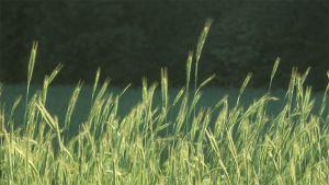 Nuorta viljaa pellolla.