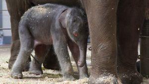 Sydneyssä syntynyt elefantin poikanen emonsa vierellä