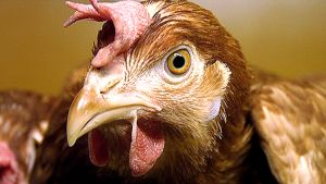 Kanan pää lähikuvassa.