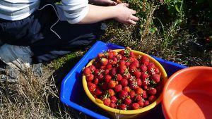 Kuvassa mansikkaa astiassa.