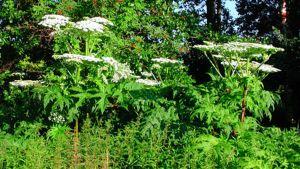 Jättiputki luonnossa