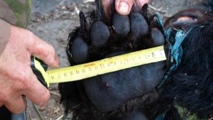 Kuvan kaadetulla karhulla oli painoa 235 kiloa.