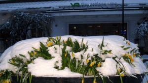 Pääsiäisnarsissi-istutus lumen peitossa