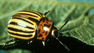 Koloradonkuoriaisen (Leptinotarsa decemlineata) tunnistaa kelta-mustaraitaisesta värityksestä.