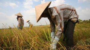 Riisinviljelyä Vietnamissa