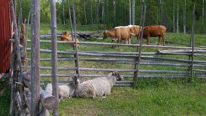 Lehmiä ja lampaita Koveron tilalla Seitsemisessä.