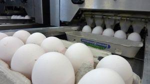 Kananmunat kennossa liukuhihnalla