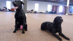 Kuvassa kaksi muistaa labradorinnoutajaa koirankoulutushallissa