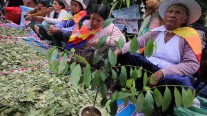 Bolivialaisia osoittamassa mieltään kokapensaan lehtien pureskelun puolesta La Pazissa.