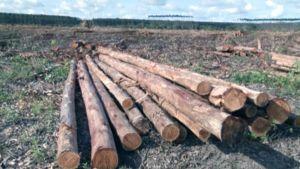 Kaadettuja eukalyptuspuita Veracel-metsäyhtiön hakkuualueella Brasiliassa.