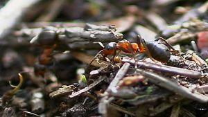 Muurahainen metsässä.