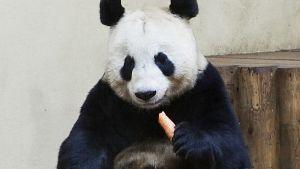 Panda syö porkkanaa.