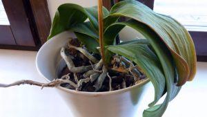 Orkidea, joka on tiputtanut kukkansa