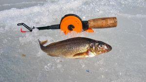 Kiiski (Gymnocephalus cemuus) on nykyään vähän tunnettu ruokakala