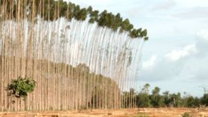 Veracel-metsäyhtiön eukalyptusmetsän hakkuualue Brasiliassa.