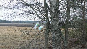 Mahla valuu koivuista muovipulloihin.
