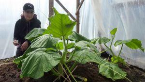 Tuija Osmala jättikurpitsan taimen juurella.