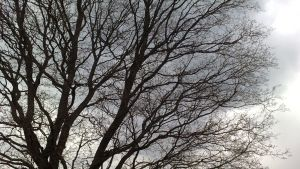 lehdetön puu