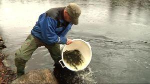 Mies kaataa järvilohia saavista jokeen.