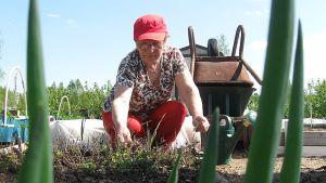 Galina Solovjeva istutuspuuhissa Joensuun Utrassa viljelypalstalla.