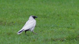 Valkoinen varis