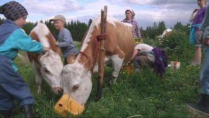 Lehmäleiri Ilomantsissa.